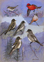 0257249 © Granger - Historical Picture ArchiveARTWORK.   A painting of flycatchers and wood-pewees perching and flying. Allan Brooks.