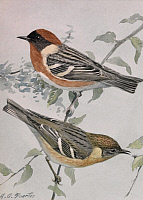 0257257 © Granger - Historical Picture ArchiveARTWORK.   A painting of a pair of bay-breasted warblers perched on a branch. Louis Agassiz Fuertes.