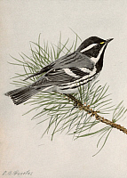 0257259 © Granger - Historical Picture ArchiveARTWORK.   A painting of a black-throated gray warbler, Dendroica nigrescens. Louis Agassiz Fuertes.