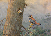 0257265 © Granger - Historical Picture ArchiveARTWORK.   A painting of a male and female sparrow hawk. Allan Brooks.