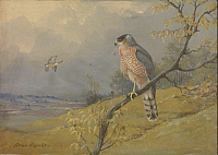 0257267 © Granger - Historical Picture ArchiveARTWORK.   A painting of a Cooper's hawk perched on a branch. Allan Brooks.