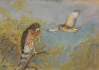 0257273 © Granger - Historical Picture ArchiveARTWORK.   A painting of two broad-winged hawks. Allan Brooks.