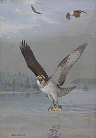 0257277 © Granger - Historical Picture ArchiveARTWORK.   Painting of an osprey catching a fish as two bald eagles fly above. Allan Brooks.
