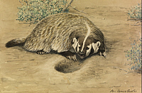 0257306 © Granger - Historical Picture ArchiveARTWORK.   A painting of a crouching badger. Louis Agassiz Fuertes.