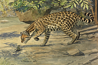 0257308 © Granger - Historical Picture ArchiveARTWORK.   A painting of an ocelot, or tiger-cat, sniffing a butterfly. Louis Agassiz Fuertes.