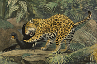 0257311 © Granger - Historical Picture ArchiveARTWORK.   A painting of a jaguar attacking a tropical bird. Louis Agassiz Fuertes.