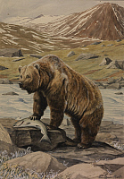 0257315 © Granger - Historical Picture ArchiveARTWORK.   A painting of an Alaska brown bear with a freshly caught salmon. Louis Agassiz Fuertes.