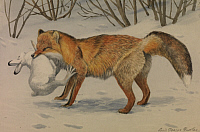 0257318 © Granger - Historical Picture ArchiveARTWORK.   A painting of an Alaska red fox carrying a hare that it has caught. Louis Agassiz Fuertes.