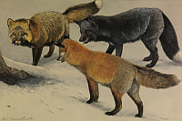 0257319 © Granger - Historical Picture ArchiveARTWORK.   A painting of three different species of fox. Louis Agassiz Fuertes.