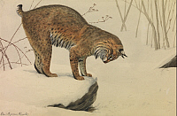 0257323 © Granger - Historical Picture ArchiveARTWORK.   A painting of a bobcat looking over the edge of a snow-covered rock. Louis Agassiz Fuertes.