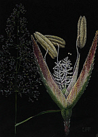 0257486 © Granger - Historical Picture ArchiveARTWORK.   A painting showing the flowers of a creeping bentgrass. E.J. Geske.