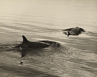 0257681 © Granger - Historical Picture ArchiveANTARCTICA.   Two killer whales surface for air. Herbert G. Ponting.