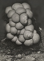 0257882 © Granger - Historical Picture ArchiveMUSHROOM.   The pear-shaped puffball mushroom grows on rotting stumps and logs. A. G. & B. Leeper.