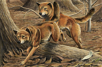 0258078 © Granger - Historical Picture ArchiveARTWORK.   Two dingos run through the woods. Louis Agassiz Fuertes.