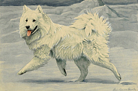 0258091 © Granger - Historical Picture ArchiveARTWORK.   The Siberian samoyed dog is used to herd reindeer. Louis Agassiz Fuertes.