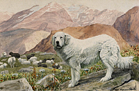 0258094 © Granger - Historical Picture ArchiveARTWORK.   A Pyrenean sheepdog guarding sheep in the Pyrenees Mountains. Louis Agassiz Fuertes.