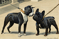 0258097 © Granger - Historical Picture ArchiveARTWORK.   A Boston terrier and French bulldog. Louis Agassiz Fuertes.