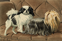 0258100 © Granger - Historical Picture ArchiveARTWORK.   A Japanese spaniel and a Yorkshire terrier stand on a sofa. Louis Agassiz Fuertes.