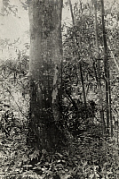 0258217 © Granger - Historical Picture ArchiveCHEKIANG, CHINA.   A hickory tree discovered growing in China. Frank N. Meyer.