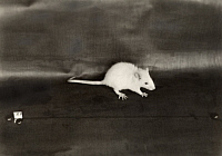 0258851 © Granger - Historical Picture ArchiveUSA.   An image of a rat that has received a balanced diet. No Credit Given.