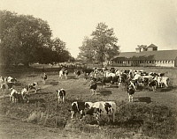 0258942 © Granger - Historical Picture ArchiveUNITED STATES.   A large number of Holstein-Friesian dairy cattle graze on a farm. Curtis And Miller.
