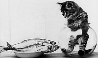 0138015 © Granger - Historical Picture ArchiveCHATON DANS UN AQUARIUM.   Kitten in an aquarium looking at fishes in a plate, june 26, 1972. Full credit: AGIP - Rue des Archives / Granger, NYC -- All rights reserved.