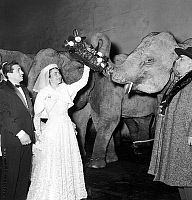 0141815 © Granger - Historical Picture ArchiveFIRMIN BOUGLIONE.   Firmin Bouglione and Emma Figuier visiting the elephants at Winter Circus in Paris after their wedding january 1955. Full credit: AGIP - Rue des Archives / Granger, NYC -- All Rights Reserved.