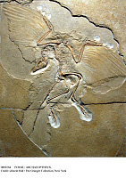 0089284 © Granger - Historical Picture ArchiveFOSSIL: ARCHAEOPTERYX.   Fossil of an archaeopteryx, thought to be the first bird, from the Late Jurassic Period. Fossil from the Museum of Natural History in Berlin-Mitte. Photographed 2007. Full credit: Schöning - ullstein bild / Granger, NYC -- All Rights Reserved.