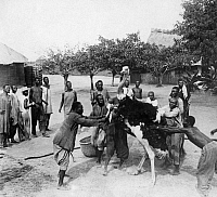 0217387 © Granger - Historical Picture ArchiveLABOR.   Afirca, German-Kamerun, Morocco-Congo-contract 1911(former French-Congo) - workers at a ostrich farm - Published by: 'Berliner Morgenpost' 17.12.1911 Vintage property of ullstein bild.