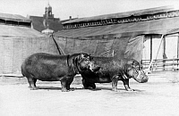 0218295 © Granger - Historical Picture ArchiveCULTURE.   German Empire - Bayern Freistaat (Bavaria Free State) (1918-1945) - Muenchen: Circus Krone - two hippopotami - Photographer: A. Dauer - 1925 Vintage property of ullstein bild.