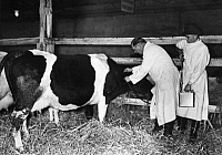 0224789 © Granger - Historical Picture ArchiveHEALTH.   German Empire: Cattle breeding: men vaccinating a cow against the Foot-and-mouth disease (FMD) - Photographer: Heinz Fremke - 1937 Vintage property of ullstein bild.