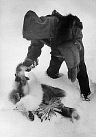 0229967 © Granger - Historical Picture ArchivePEOPLE.   Trapper living in Canada: Trapper is examining his kill - Photographer: Felix H. Man - Published by: 'Koralle' 06/1934 Vintage property of ullstein bild.