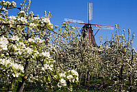 0239730 © Granger - Historical Picture ArchiveGEOGRAPHY.   Germany, Lower Saxony, Altes Land. Windmill and cherry trees in Jork-Borstel. 2000.