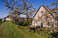 0239734 © Granger - Historical Picture ArchiveGEOGRAPHY.   Germany, Lower Saxony, Altes Land, Timbered house and cherry tree at Estedeich, Cranz. 2000.