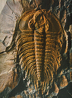 0241445 © Granger - Historical Picture ArchiveNATURE.   Palaeozoic era Fossils Petrified fossil from the Cambrian (trilobite) - 2000.