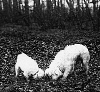 0241606 © Granger - Historical Picture ArchiveNATURE.   France: truffle dogs at work: searching for truffle, they have found some, date unknown around 1911, photo by Topical-Press.