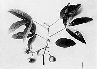 0241683 © Granger - Historical Picture ArchiveNATURE.   Flora, twig of coutchouc, date unknown.