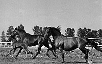 0244084 © Granger - Historical Picture ArchiveAGRICULTURE.   Horses with foal at the pasture - Photographer: Max Ehlert - puiblsihed by Koralle 8/1938 Vintage property of ullstein bild.