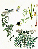0244190 © Granger - Historical Picture ArchivePLANT.   Plants Engravings from the 18th / 19th century Poisonous plants: belladonna (1-3), meadow saffron (4-6), poison hemlock (7), and fool's parsley (8) - colored copper engraving - 18th century.