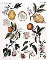 0244201 © Granger - Historical Picture ArchivePLANT.   Fruit Engravings from the 18th / 19th century 1. Lemon, 2. Citron, 3. Bitter orange, 4. (kind of) Apple, 5. Fig, 6. Almond - colored copperplate engraving - 18th century.