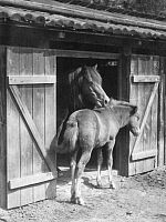 0244249 © Granger - Historical Picture ArchiveANIMAL.   Mare with her foal - 1939 Vintage property of ullstein bild.