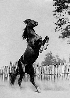 0244309 © Granger - Historical Picture ArchiveANIMAL.   rearing horse, photograph from the novel 'The black stud Bento' by Ditha Holesch, date unknown, before 1937.