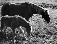 0244414 © Granger - Historical Picture ArchiveANIMAL.   Horses, foal and its mother - Photographer: Max Ehlert - 1937 Vintage property of ullstein bild.
