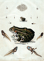 0244417 © Granger - Historical Picture ArchiveANIMAL.   Animal depictions Historical depictions Stages of development of a frog: from a spawn (pict. 1) to an adult frog (pict. 15) - 19th century.