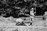 0244458 © Granger - Historical Picture ArchiveANIMAL.   tame animals: tame wild boar following an unknown man (forester), date unknown, probably 1909.