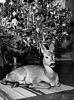 0244469 © Granger - Historical Picture ArchiveANIMAL.   tame deer sitting under the Christmas tree date unknown, probably Christmas 1952. photo by Wenig/Presse-Seeger.