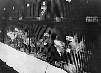 0244575 © Granger - Historical Picture ArchiveANIMAL.   German Empire Free State Prussia Hanover Province Hanover: Exhibiton of poultry with cages - Photographer: Willi Ruge - - undated Vintage property of ullstein bild.