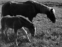 0244607 © Granger - Historical Picture ArchiveANIMAL.   Horses, foal and its mother - Photographer: Max Ehlert - 1937 Vintage property of ullstein bild.