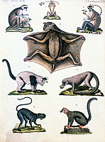 0244619 © Granger - Historical Picture ArchiveANIMAL.   Animal depictions Engravings from the 19th century Long-tailed monkeys and a flying fox (pic. 8) - color engraving - around 1800.