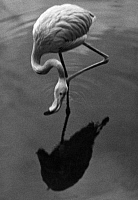 0244639 © Granger - Historical Picture ArchiveANIMAL.   German Empire: Zoo animals: flamingo in the Berlin Zoo - Photographer: Martin Munkacsi - 1929 Vintage property of ullstein bild.